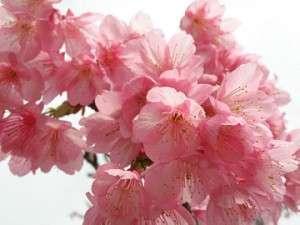 桜(1月~2月)